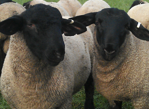 Lavendon Suffolk Sheep